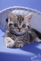 BKH британских короткошерстных котят в редкий цвет серебристый
